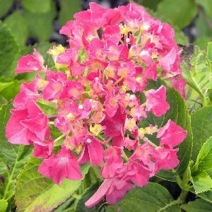 HYDRANGEA macrophylla 'Chaperon Rouge'