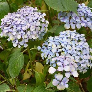 HYDRANGEA macrophylla 'Cousine Louise'