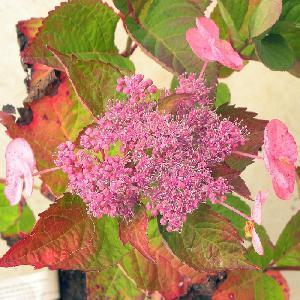 HYDRANGEA macrophylla DOLCE GIPSY®