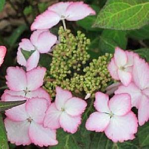 HYDRANGEA macrophylla DOLCE KISS®