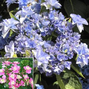 HYDRANGEA macrophylla ETERNITY (Youmetwo)