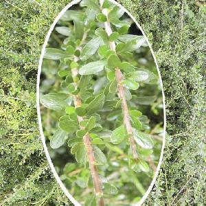 HYMENANTHERA crassifolia