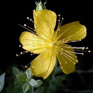 HYPERICUM olympicum ( polyphyllum )