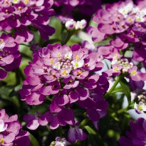 IBERIS 'Absolutely Amethyst'