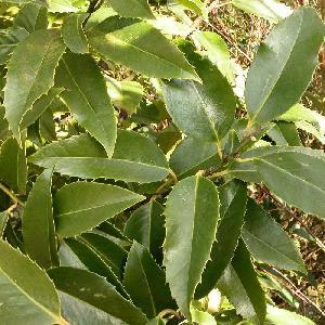 ILEX aquifolium 'Castanaefolia'