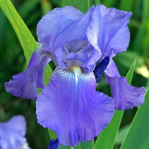 IRIS b-e 'Harbor Blue'