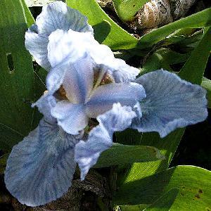 IRIS b-n 'Blue Denim' (Lilliput)