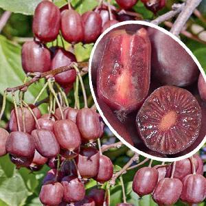 Kiwi arguta 'Scarlet September'® (Femelle)