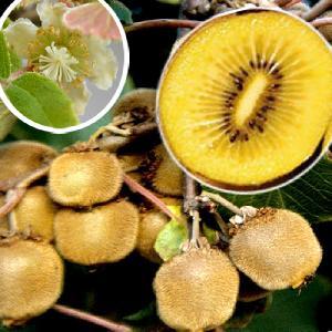 Kiwi déliciosa 'Minkigold' (femelle)