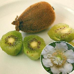 Kiwi 'Hayward' (femelle)