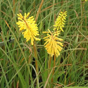 KNIPHOFIA 'Bressingham Yellow'