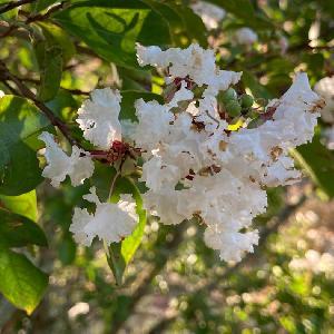 LAGERSTROEMIA indica 'Neige d'été'