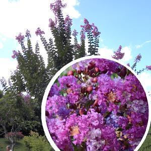 LAGERSTROEMIA indica 'Violet d'été'