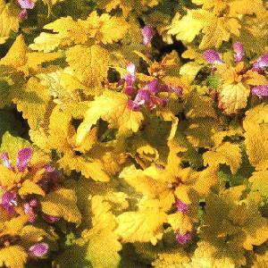 LAMIUM maculatum 'Cannon's Gold'