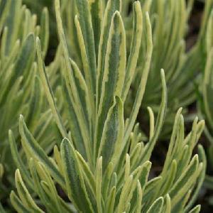 LAVANDULA angustifolia 'Platinum Blonde' ®