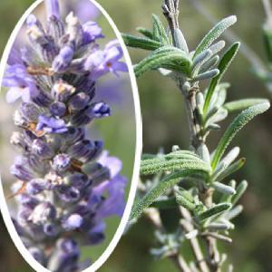 LAVANDULA angustifolia (vera)