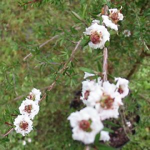 LEPTOSPERNUM scoparium 'Snow Flurry'