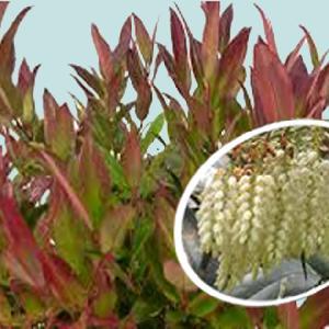 LEUCOTHOE fontanesiana 'Red Leaf'