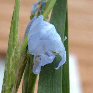 LIBERTIA caerulescens