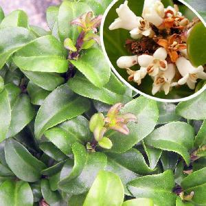 LIGUSTRUM japonicum 'Rotundifolium Compactum'
