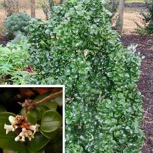 LIGUSTRUM japonicum 'Rotundifolium' (=coriaceum)