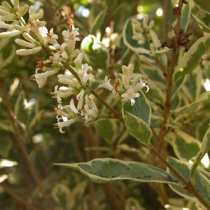 LIGUSTRUM ovalifolium 'Argenteum'