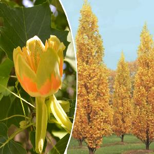 LIRIODENDRON tulipifera 'Fastigiatum'