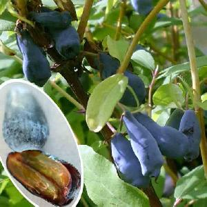 LONICERA (caerulea var.) kamtschatica 'Altaï'