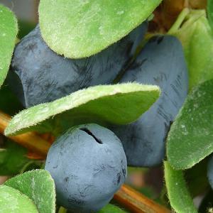 LONICERA (caerulea var.) kamtschatica 'Duet'