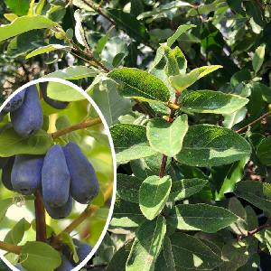 LONICERA (caerulea var.) kamtschatica 'Sinoglaska'