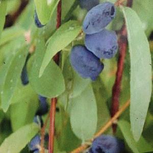 LONICERA  (caerulea var.) kamtschatica 'Sweet'