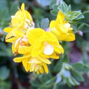 LOTUS corniculatus 'Pleniflorus'