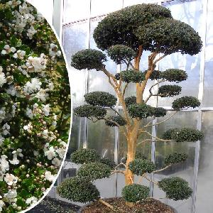 LUMA apiculata (en nuage)