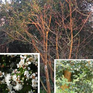 LUMA apiculata (=MYRTUS luma)