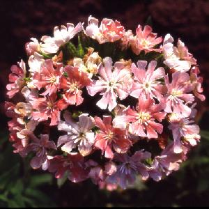 LYCHNIS chalcedonica 'Morgenrot'