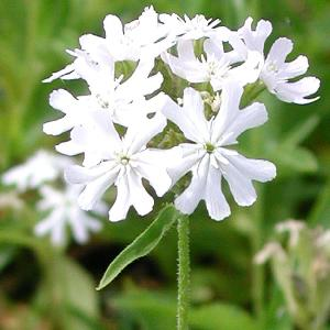LYCHNIS chalcedonica 'Rauhreif'