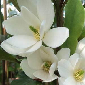 MAGNOLIA 'Fairy White'®