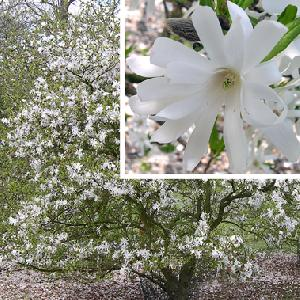 MAGNOLIA stellata 'Royal Star'