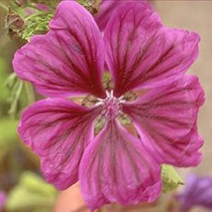 MALVA sylvestris ssp. mauritanica
