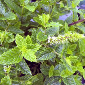 MENTHA spicata 'Nanah'