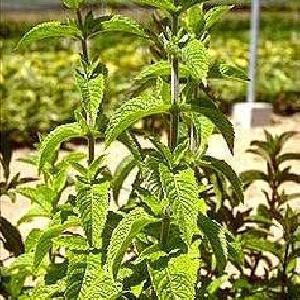 MENTHA spicata (viridis)