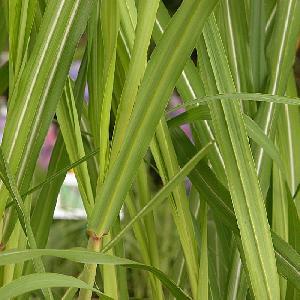 MISCANTHUS giganteus (M. floridulus)