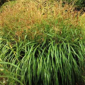 MISCANTHUS sinensis 'Nippon'