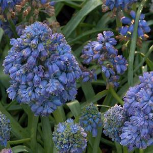 MUSCARI armeniacum 'Blue Spike'