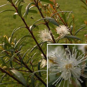 MYRCEUGENIA pinifolia