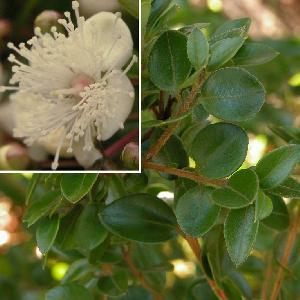 MYRTUS lechleriana  (= AMOMYRTUS luma)