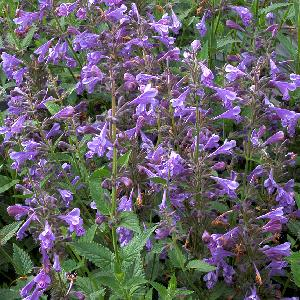 NEPETA 'Blue Dragon' ®