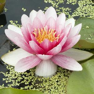 NYMPHAEA 'Rembrant'