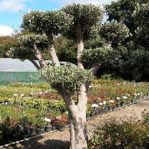 OLEA europea (Plateau tronc vieillissant)