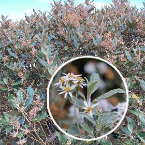 OLEARIA x oleifolia